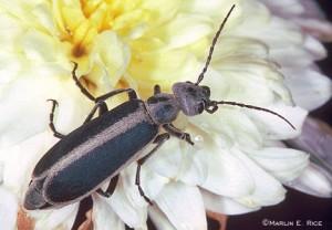 Blister Beetle, image courtesy of Iowa State University website